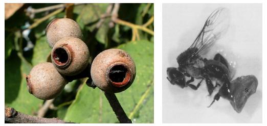 Além Da Polinização: Melitocoria, A Dispersão De Sementes Por Abelhas Sem Ferrão