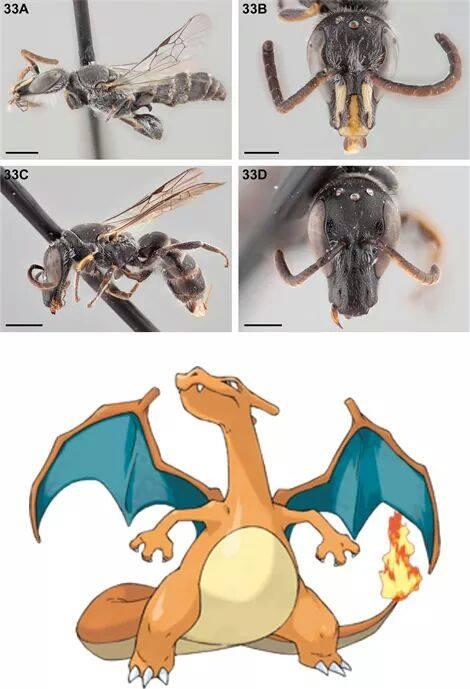 Chilicola Charizard, Abelha Ou Pokémon?