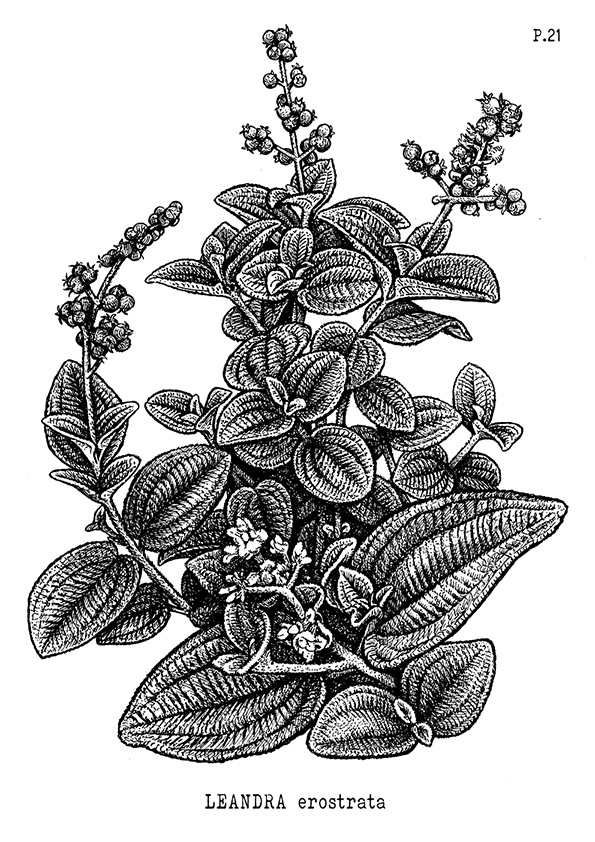 21-Pixirica-Leandra-erostrata-