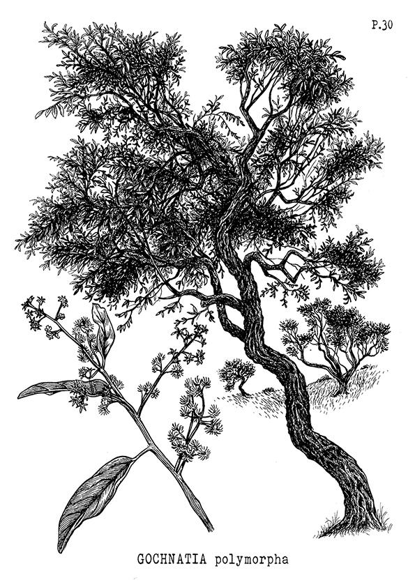 30-Candeia-Gochnatia-polymorpha